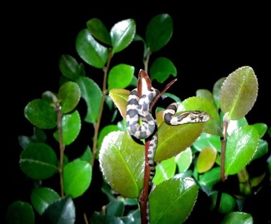 anole 1 and snake