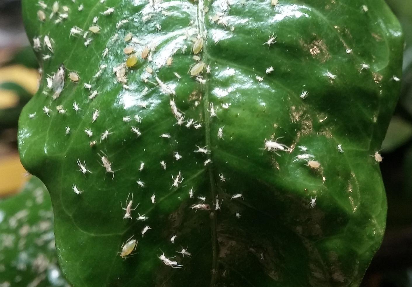 aphids on citrus 2