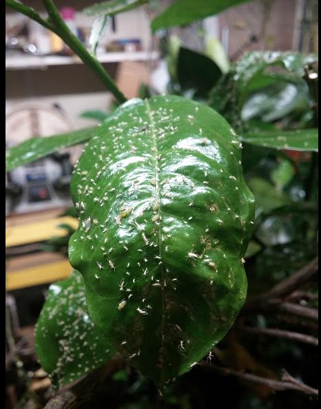 aphids on citrus