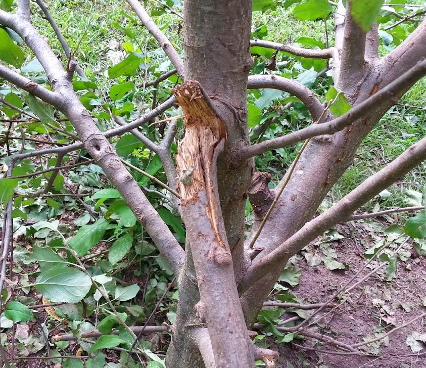 apple broken limbs 4