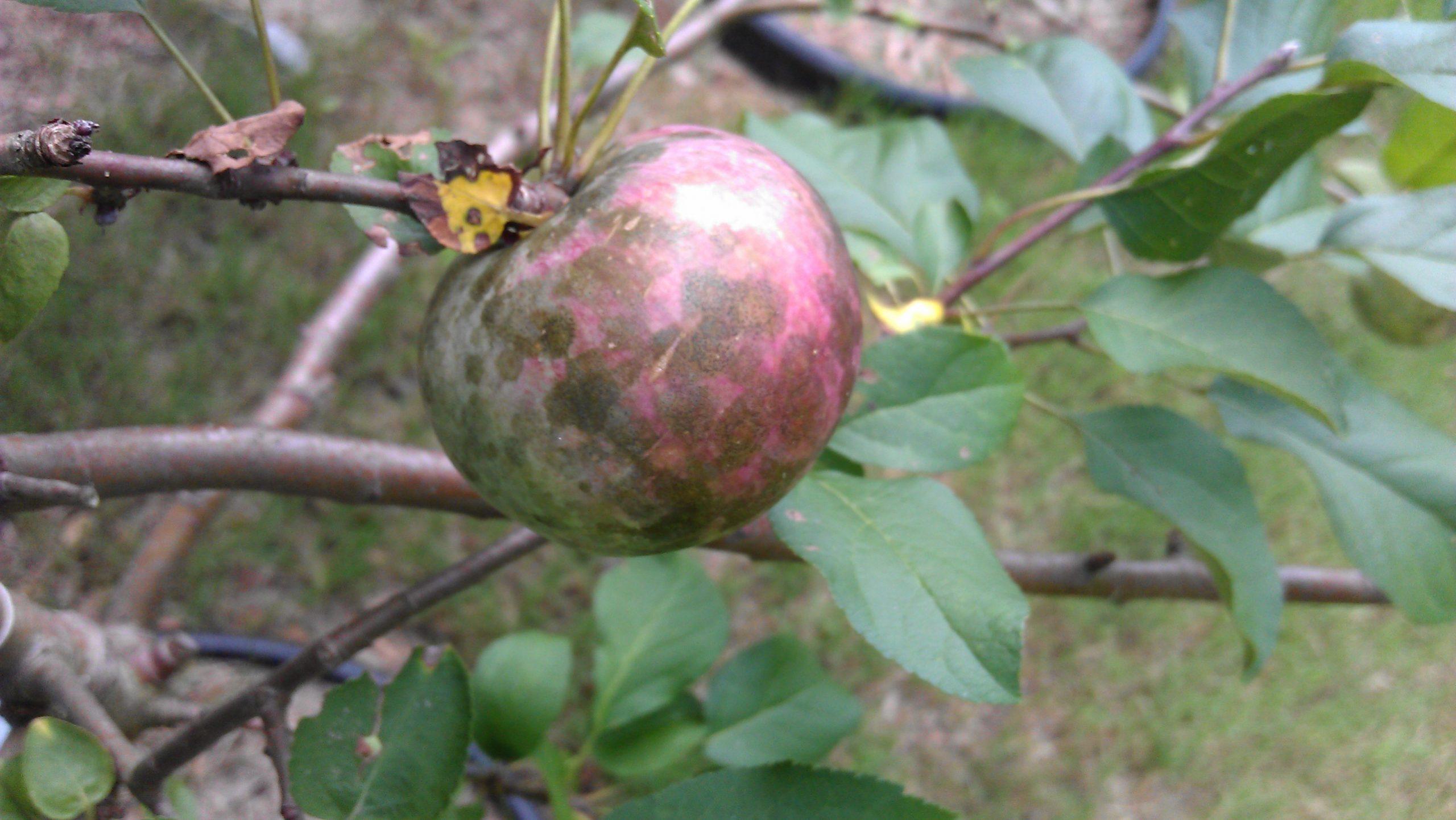 apple sooty blotch