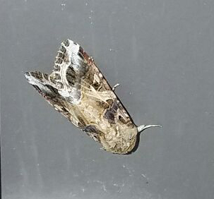 """armyworm moth (about 1"""" long)"""