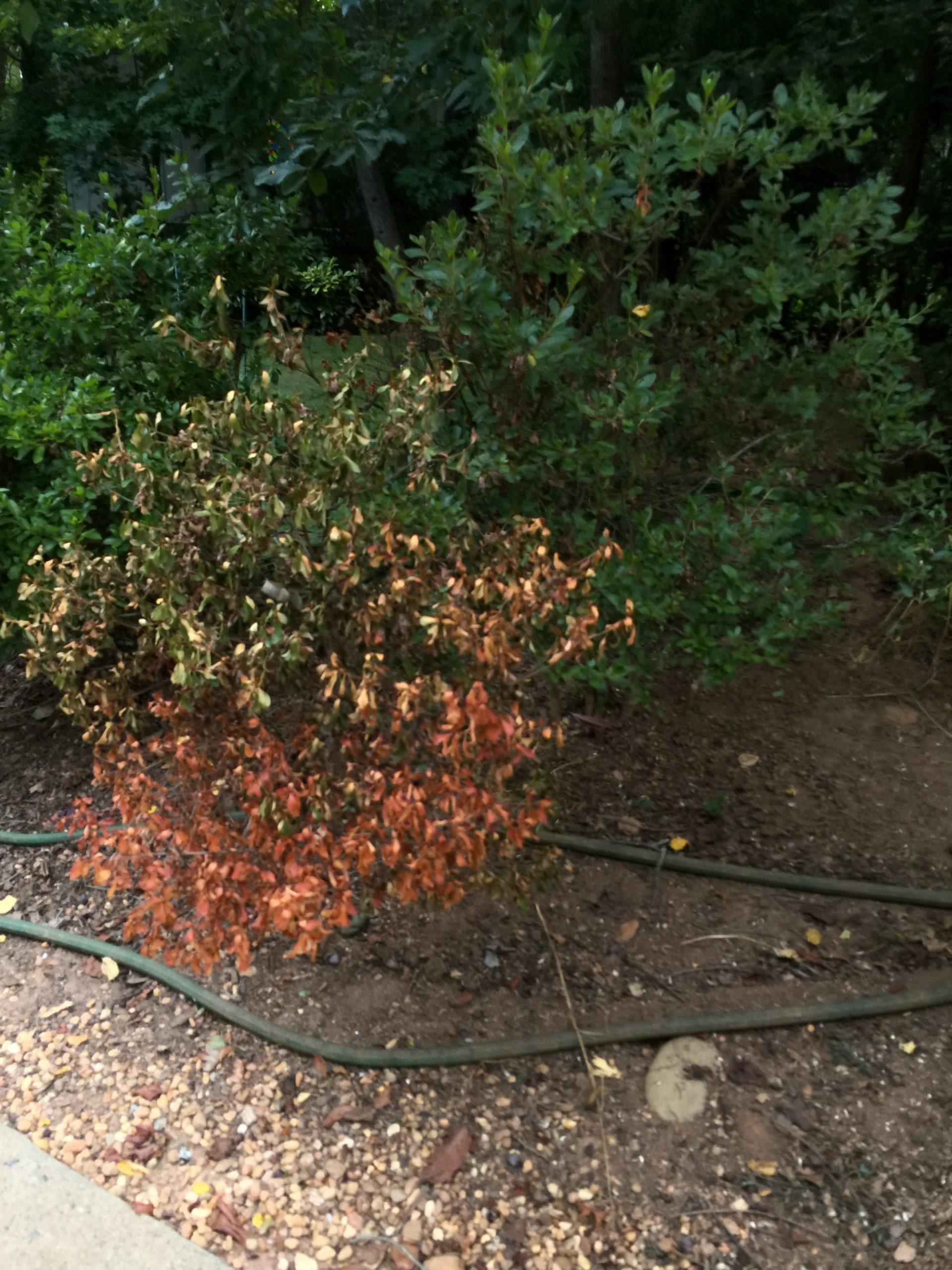 azalea drought damage 1