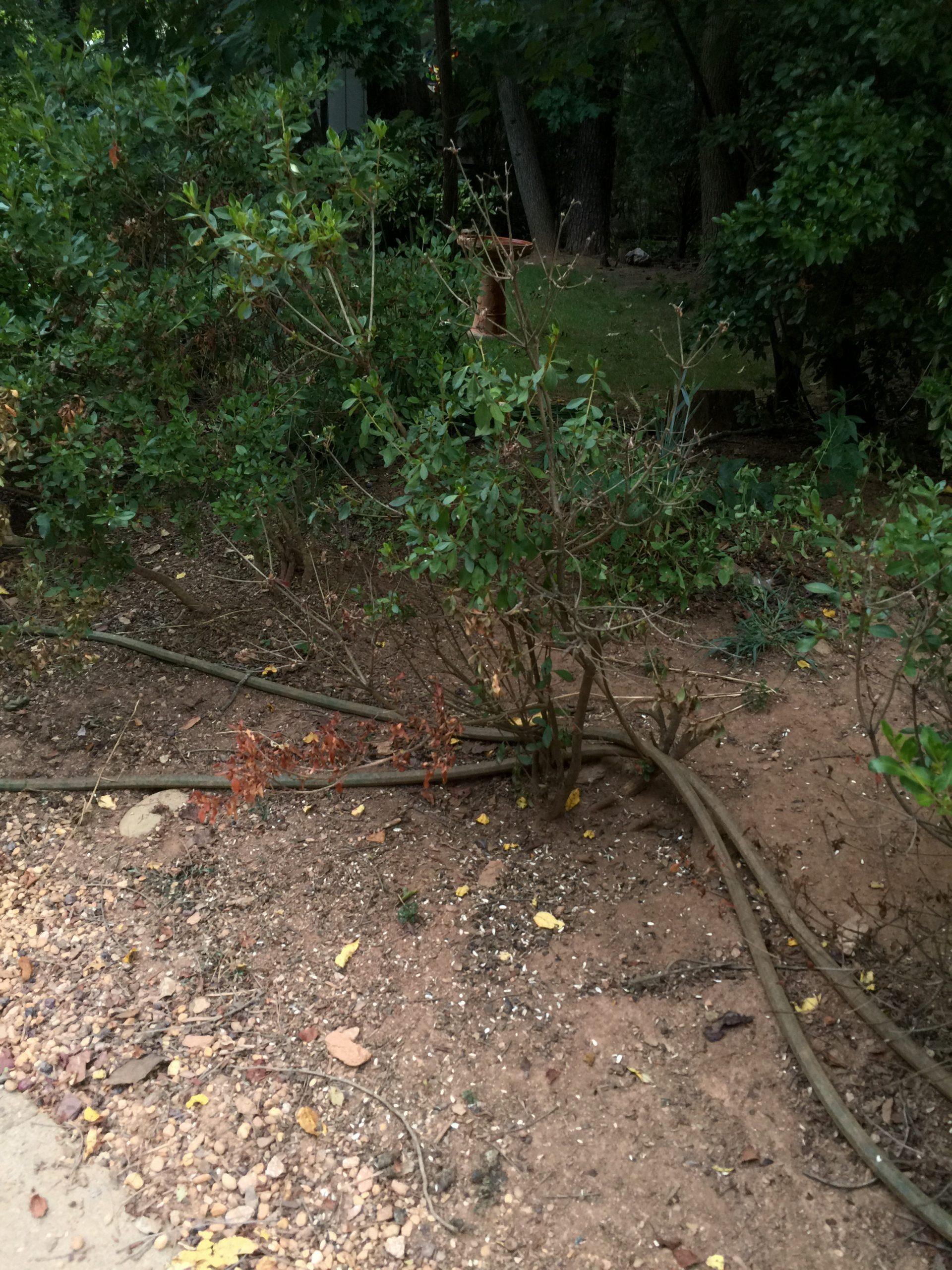 azalea drought damage 2