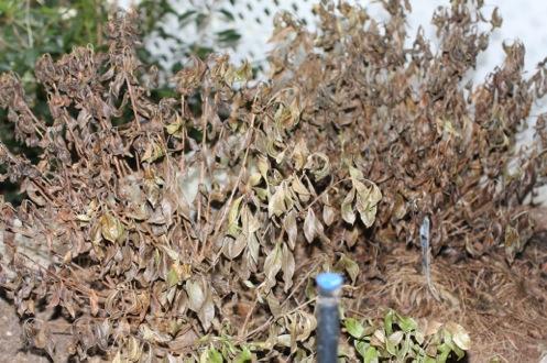 azalea dry 1