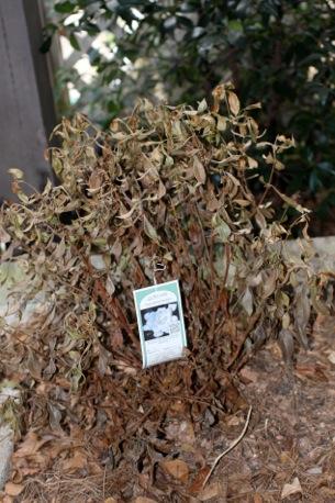 azalea dry 2