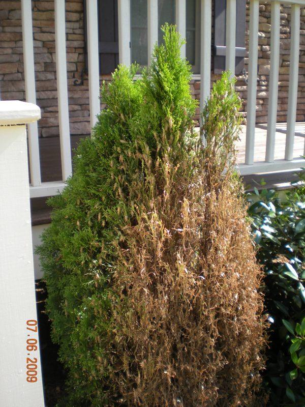 bagworm damage to shrub