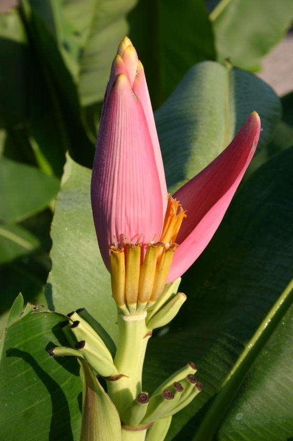 ornamental banana