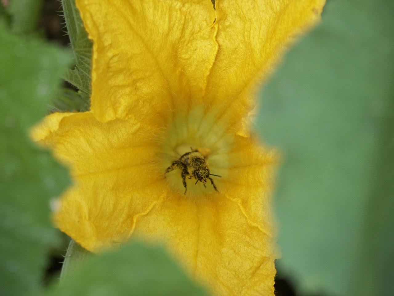 bee in squash pollen