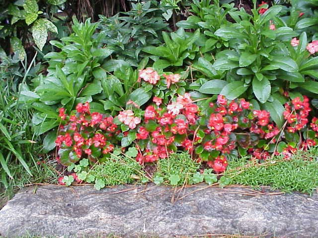 begonia is a good substitute for impatiens