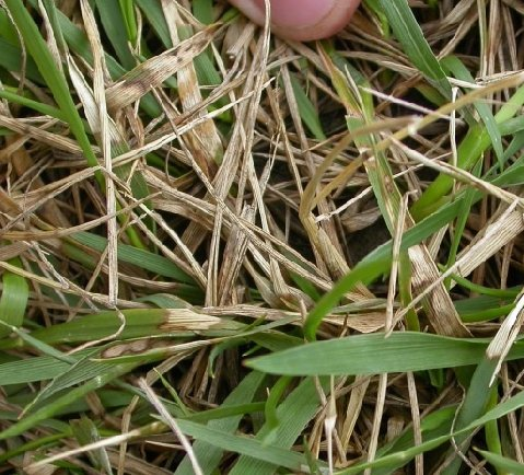 brown patch on fescue