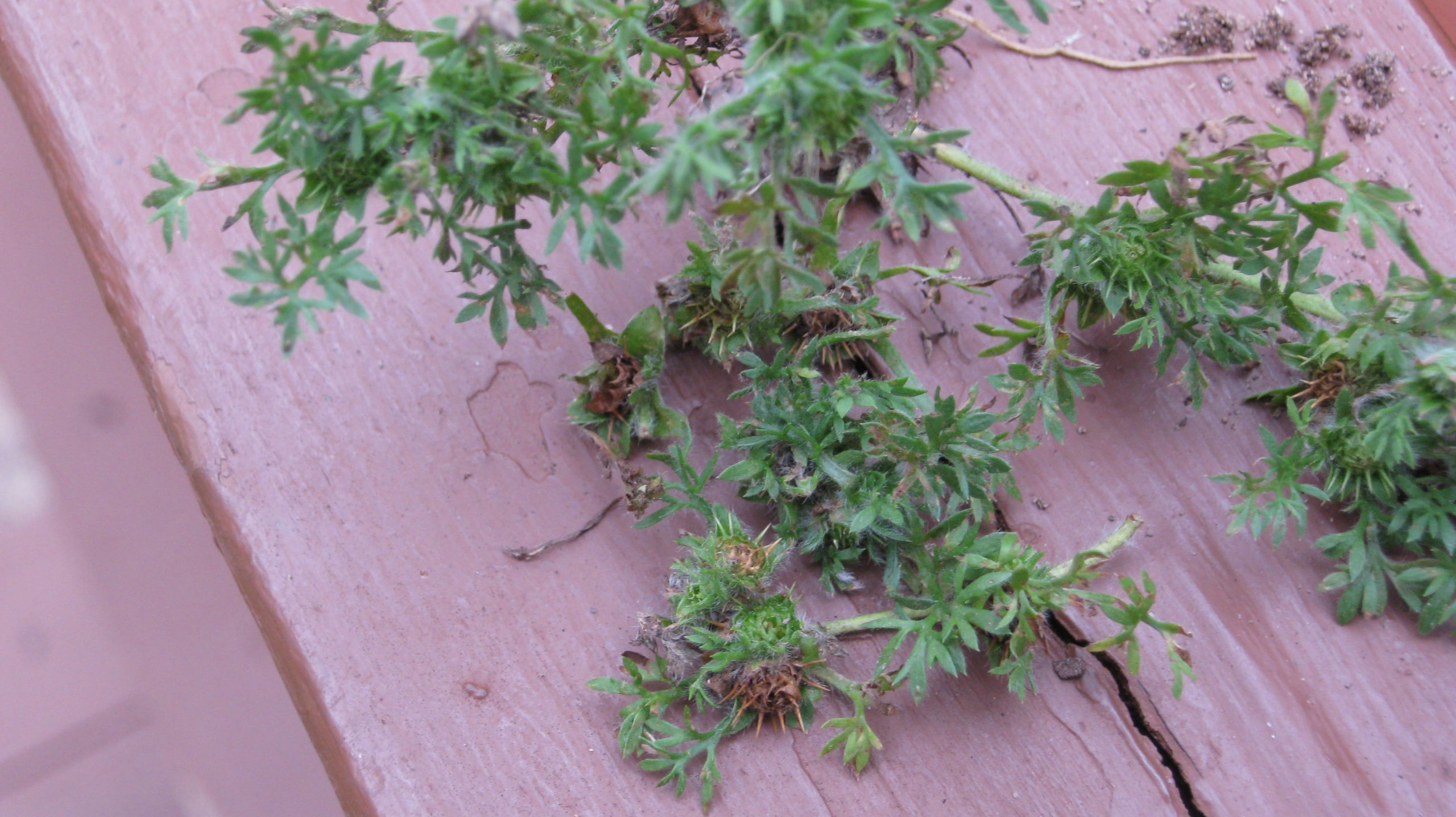 burweed 1