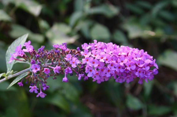 butterfly bush flower