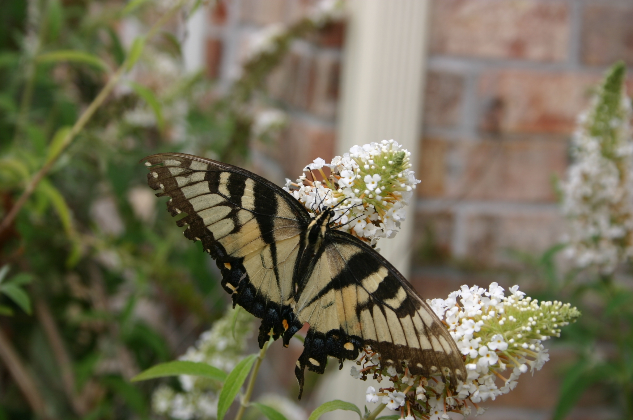 butterfly puddle manure