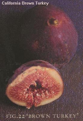Photo of a California Brown Turkey or San Piero fig