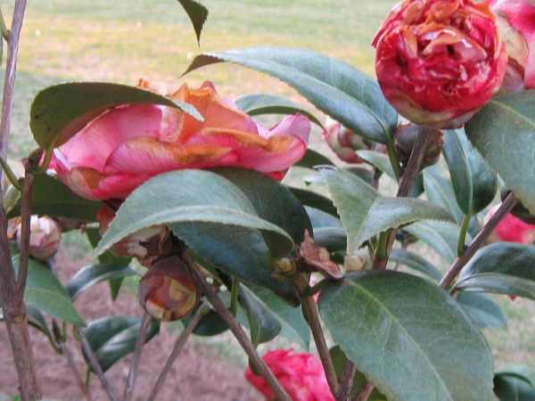 camellia cold injury