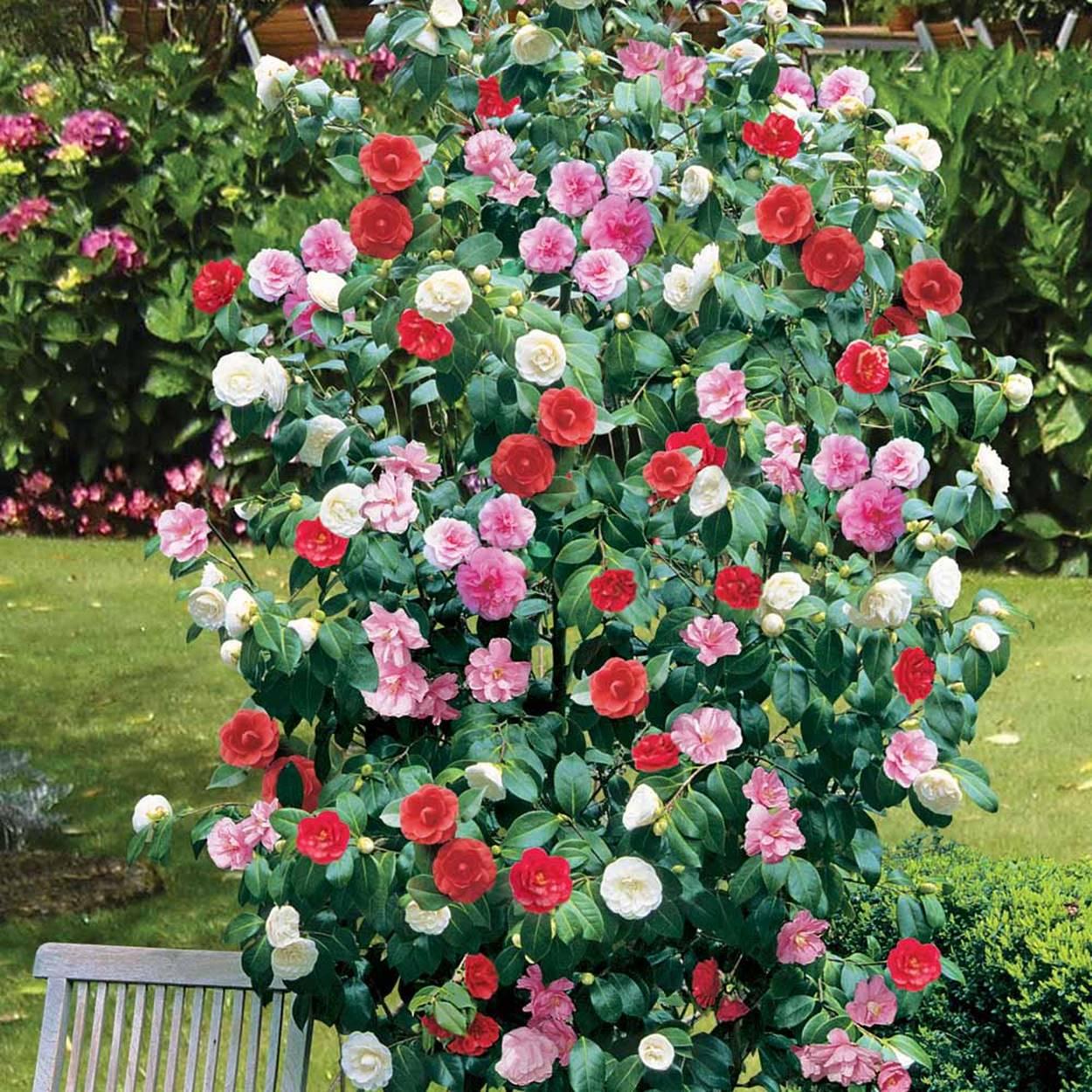 camellia multi