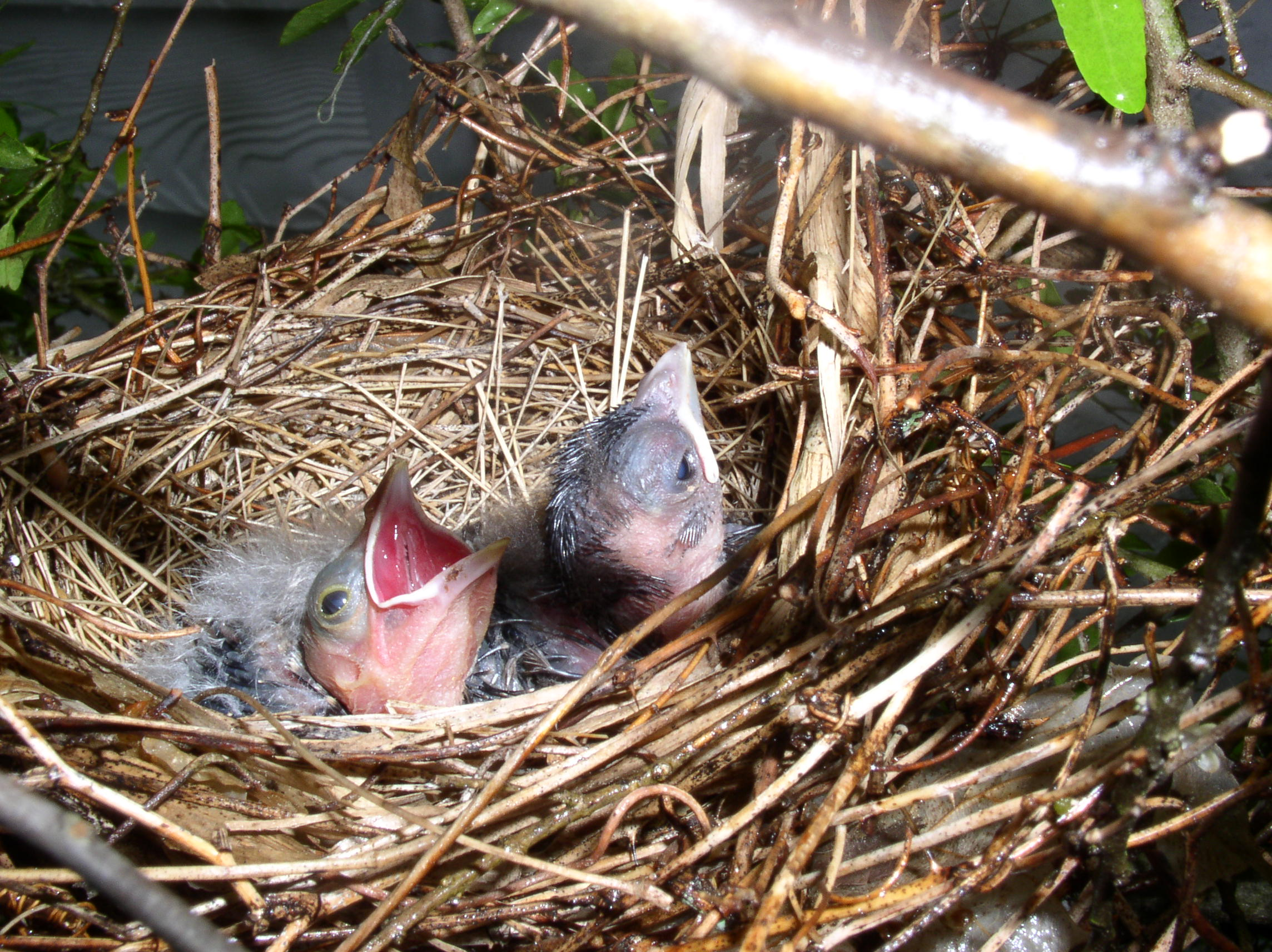 cardinal babies - photo courtesy of Shannon Pable