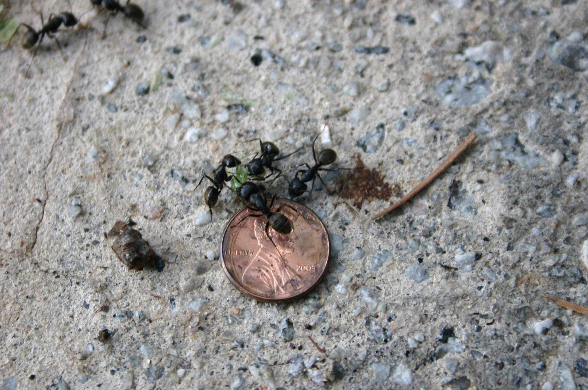 carpenter ants 3