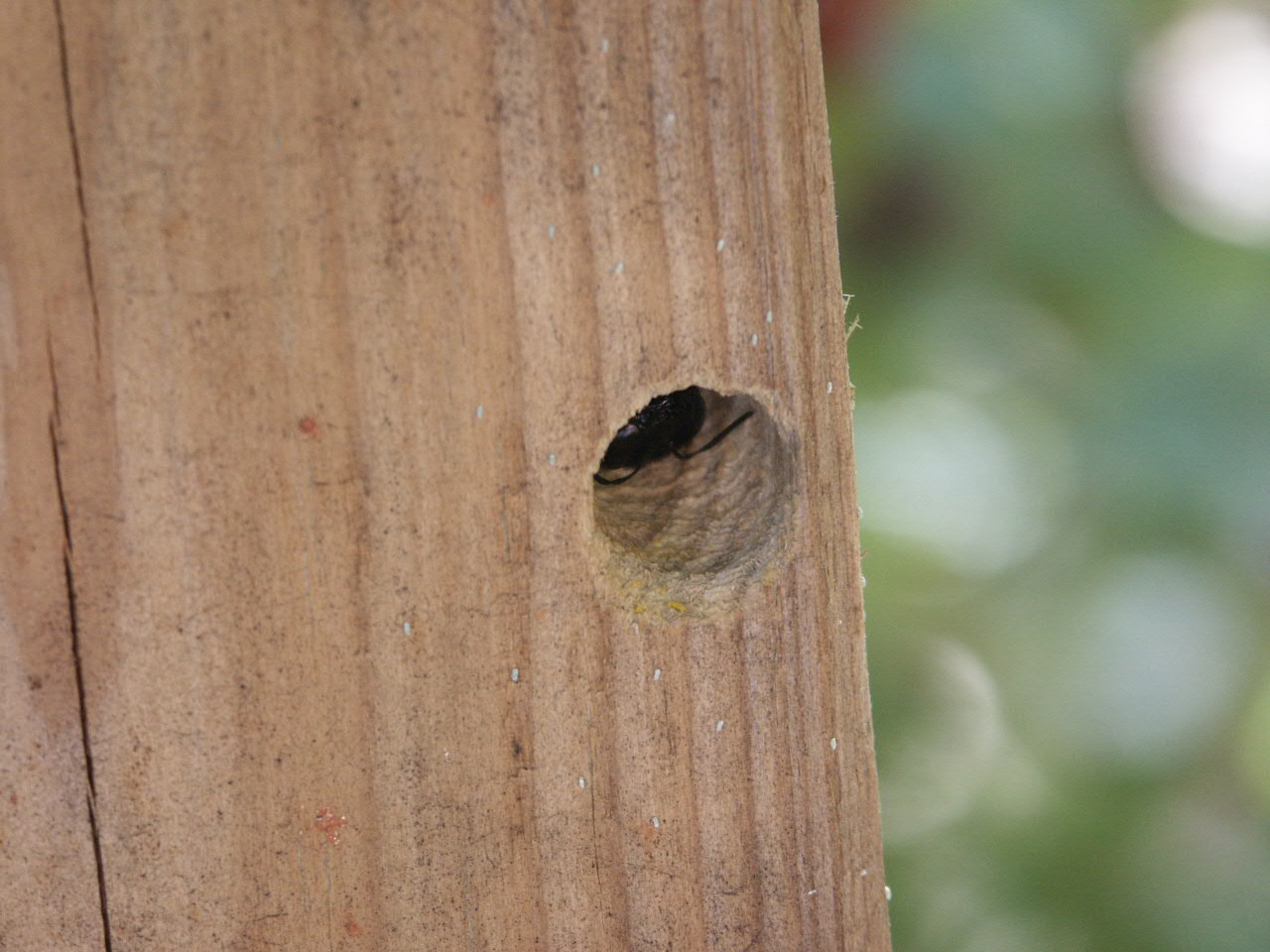 carpenter bee hole in pressure-treated post