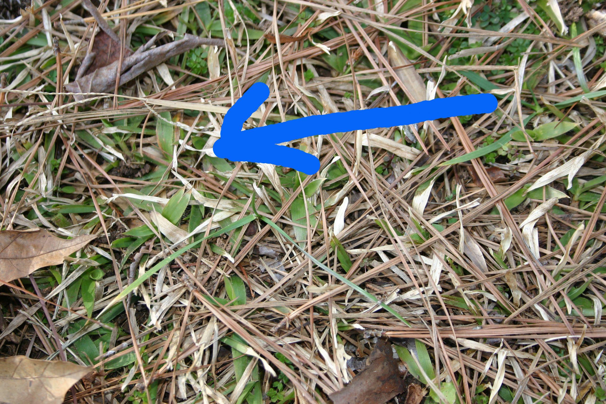 centipede not dormant blue arrow