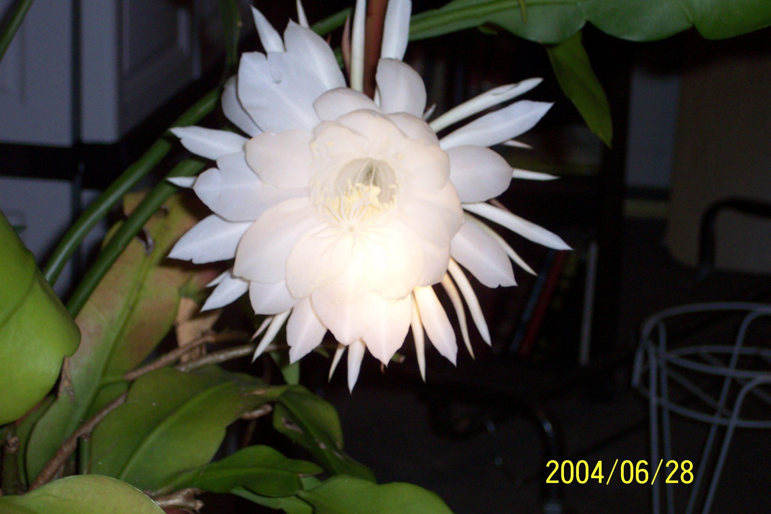 cereus flower 4