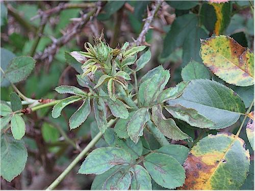 chilli thrips damage to rose (photo courtesy of Tom MacCubbin)