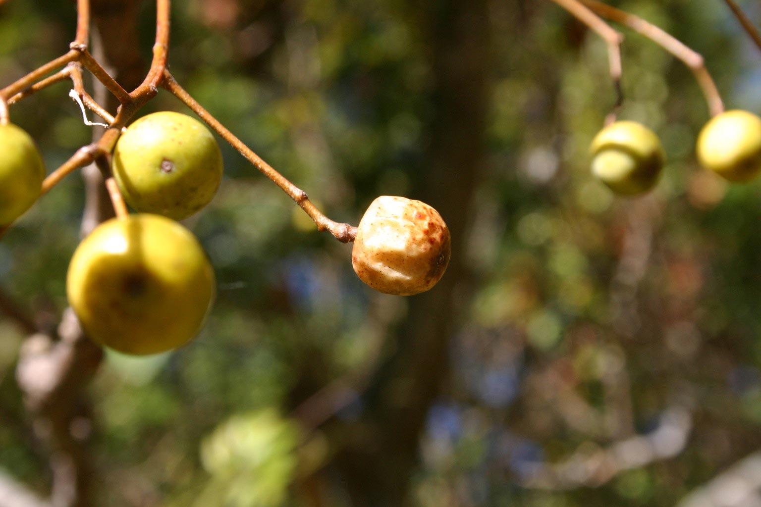 chinaberry fruit