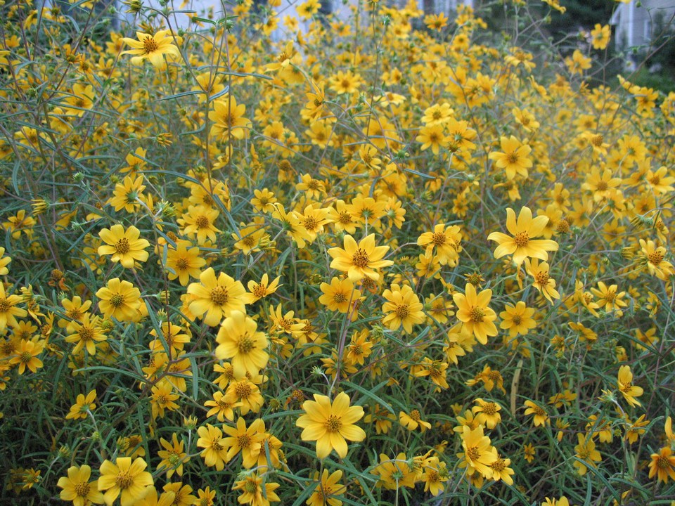 Confederate daisy