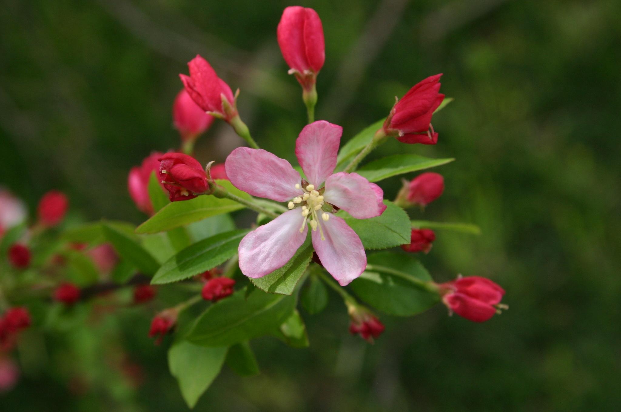 crabapple-flower-2