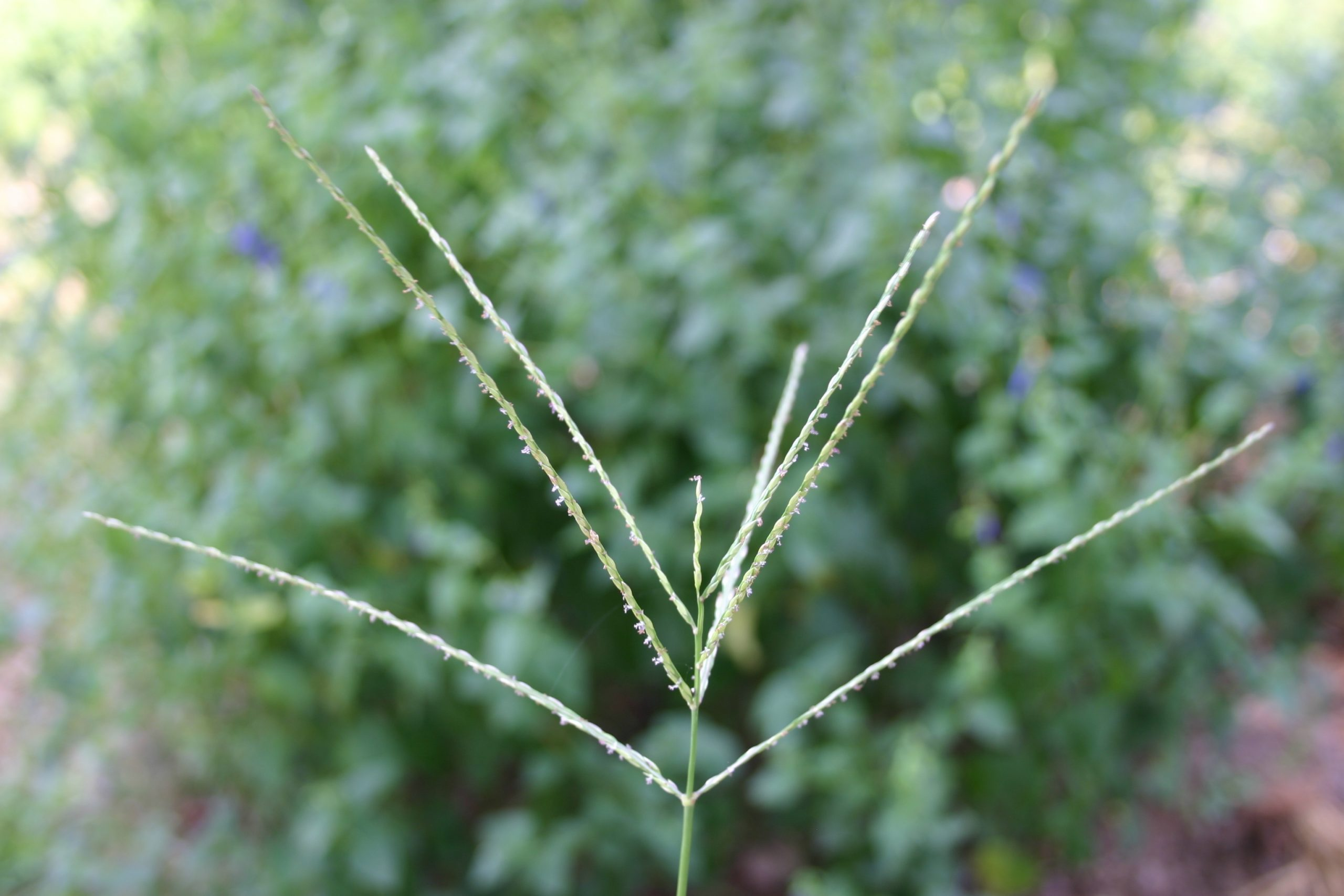 crabgrass seedhead