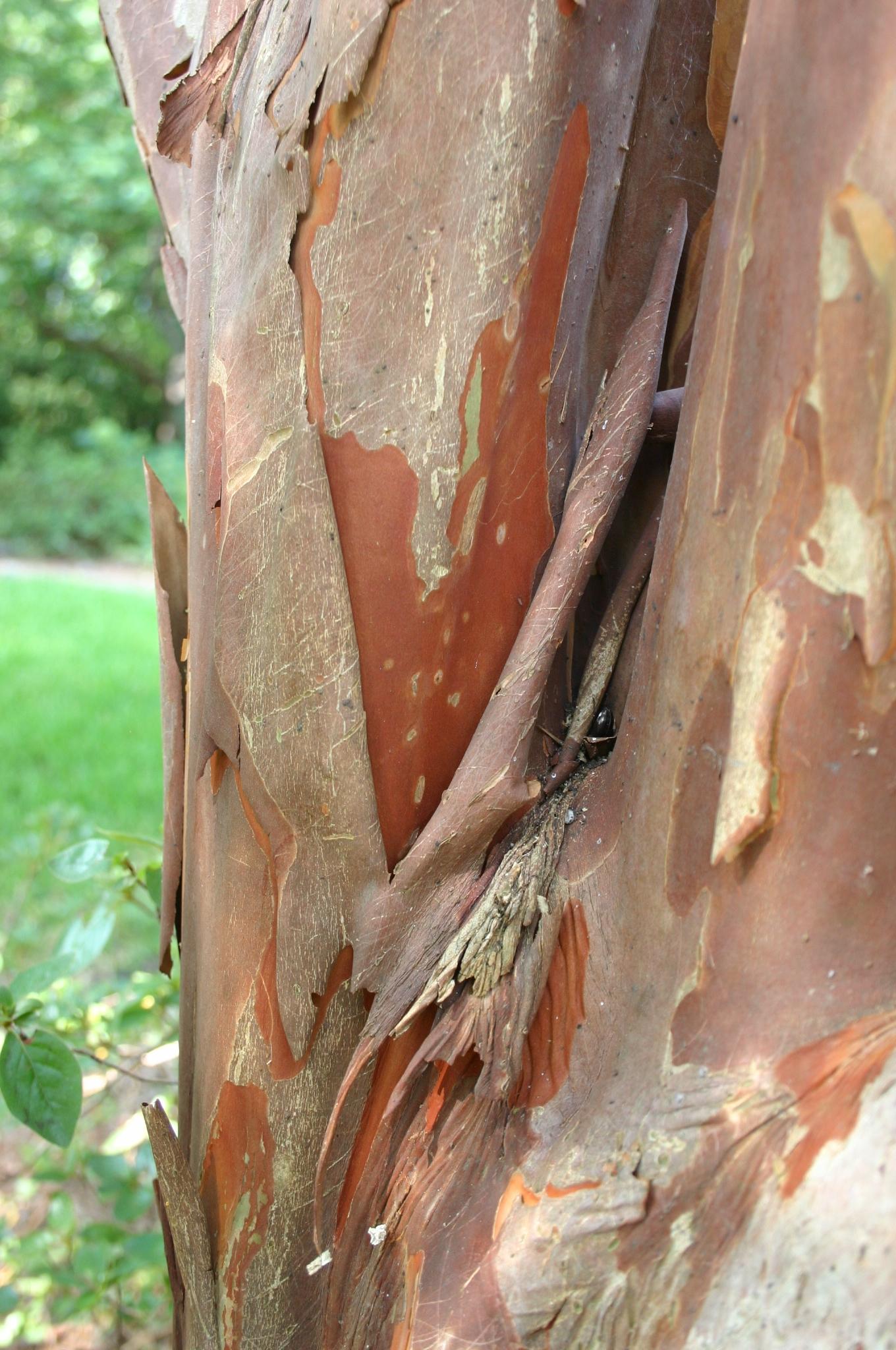 crapemyrtle bark