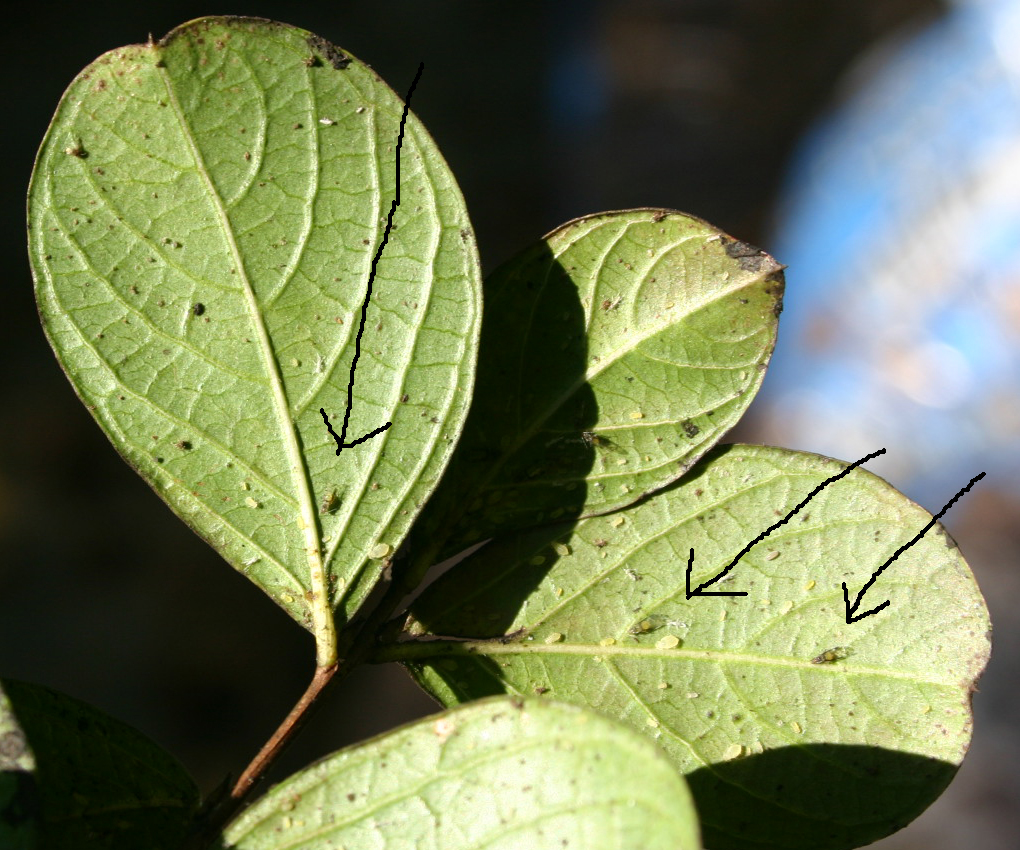 crapemyrtle aphids