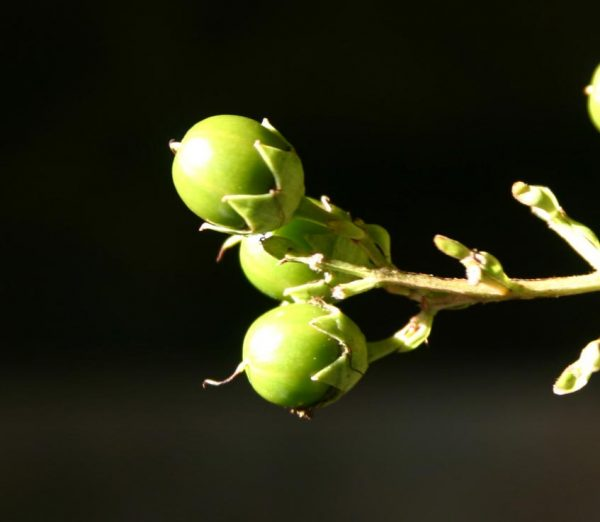 crapemyrtle seed