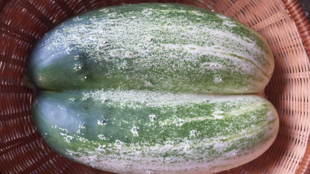 cucumber twins