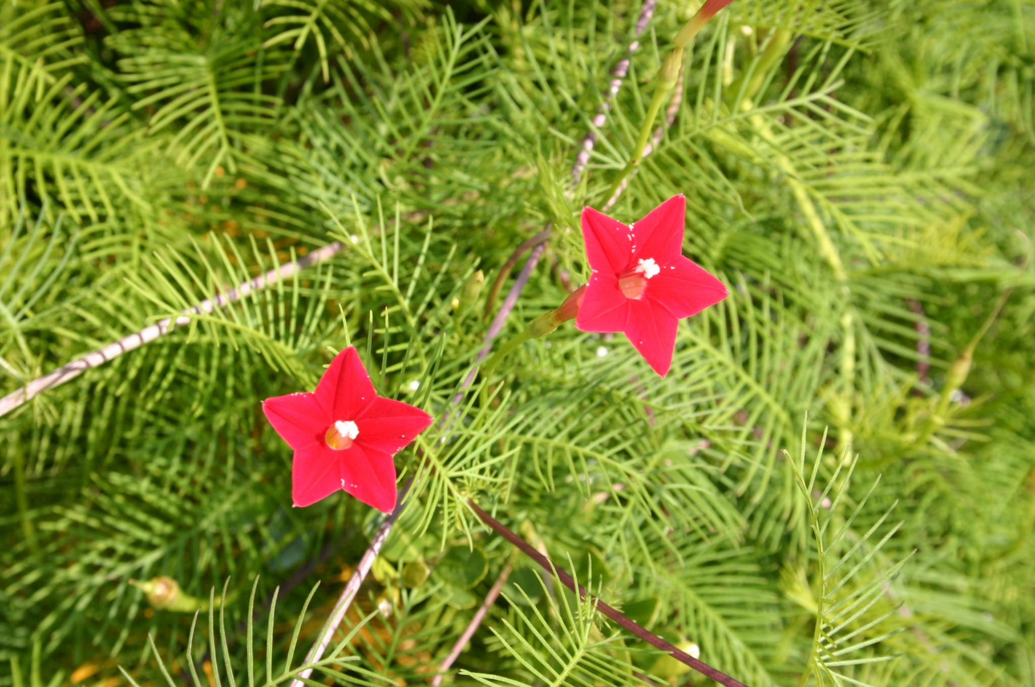 cypress vine flowers
