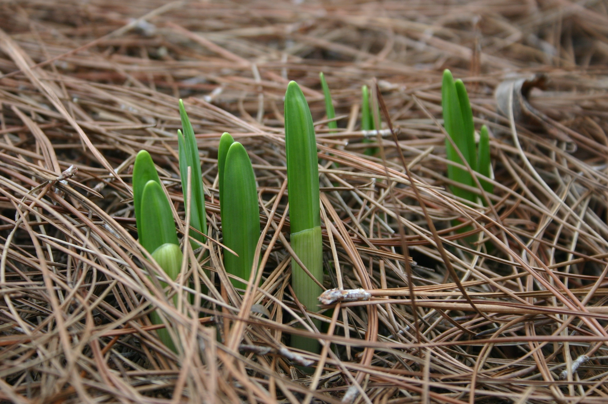 daffodil early 1