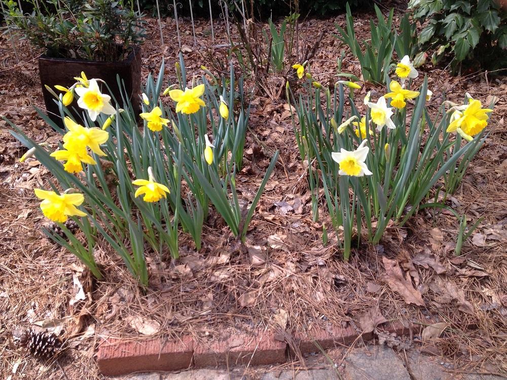 daffodil upside down 2a