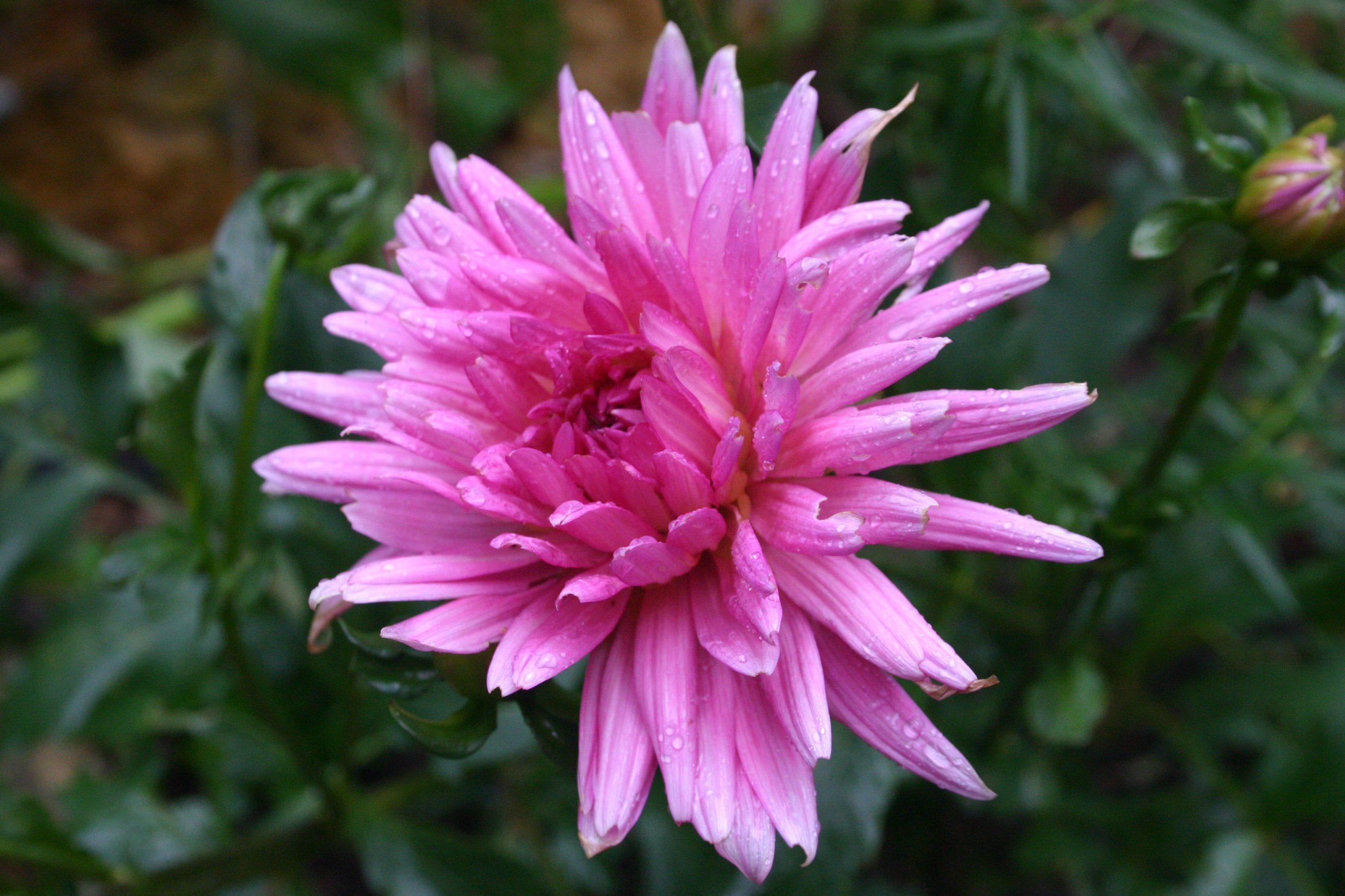 dahlia pink 2