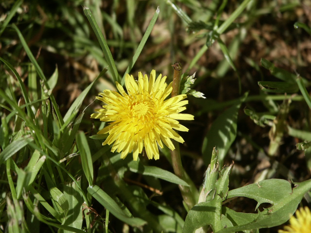 dandelion  flower 2