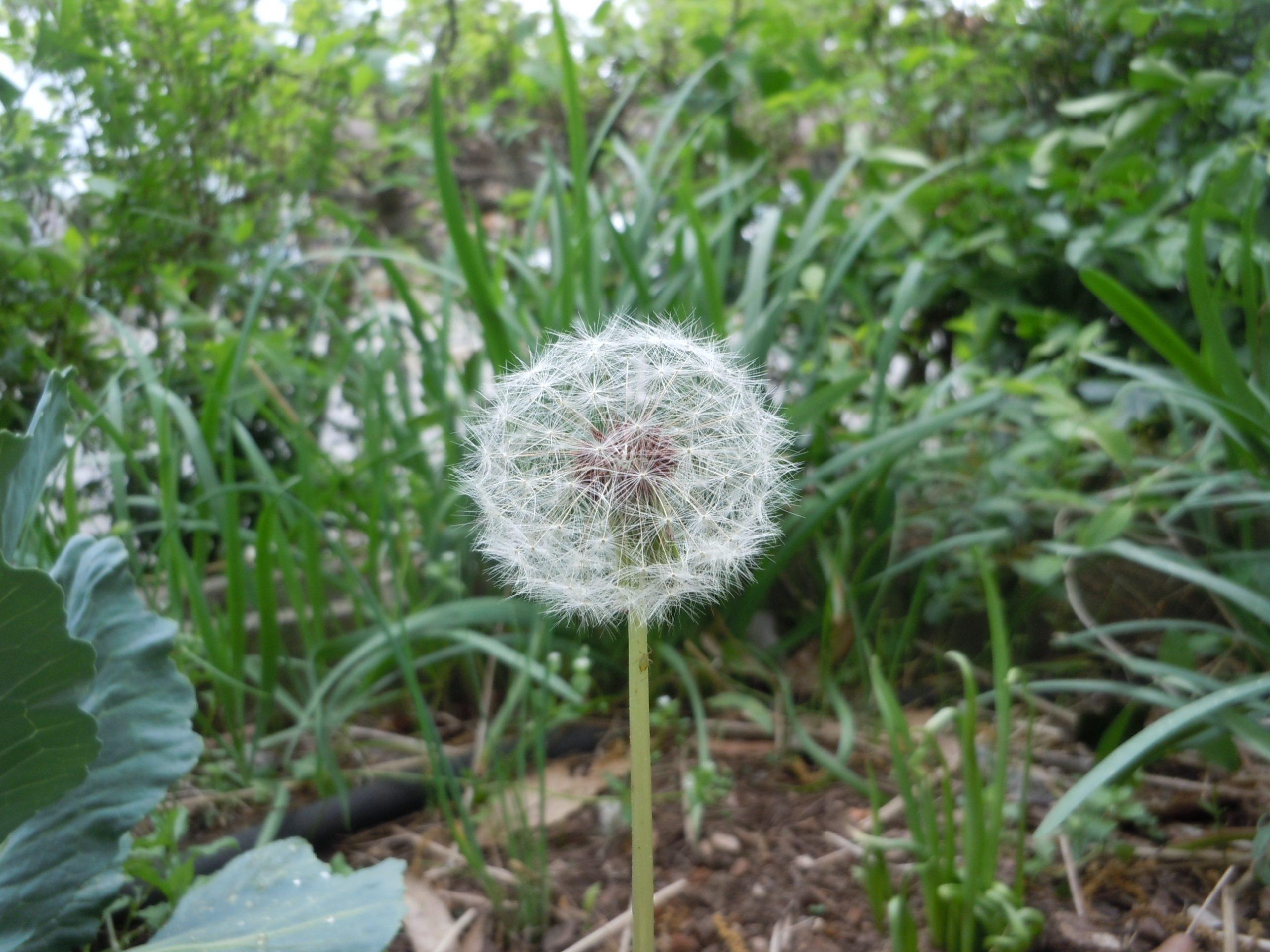 dandelion seed 1
