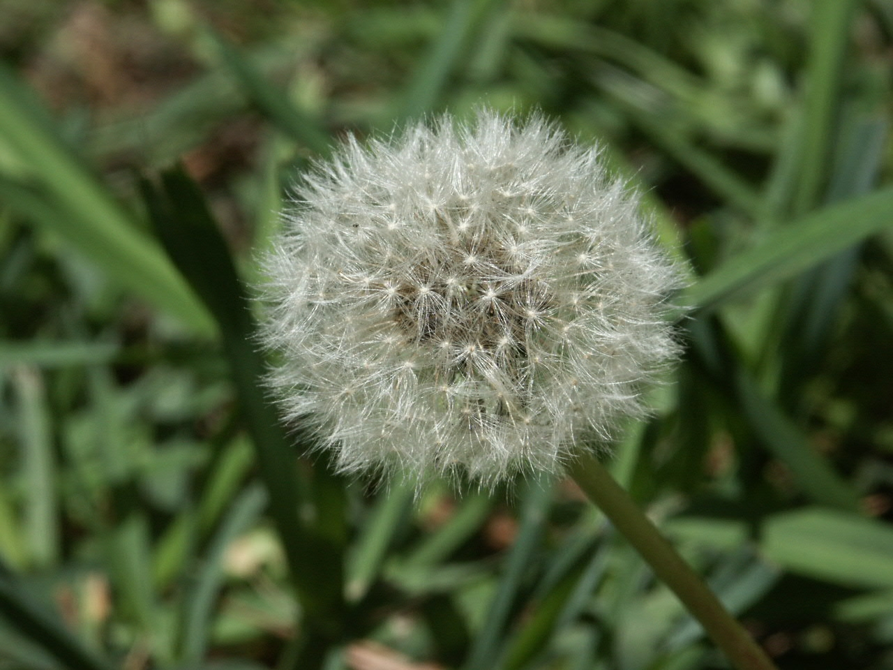 all parts of a dandelion are edible
