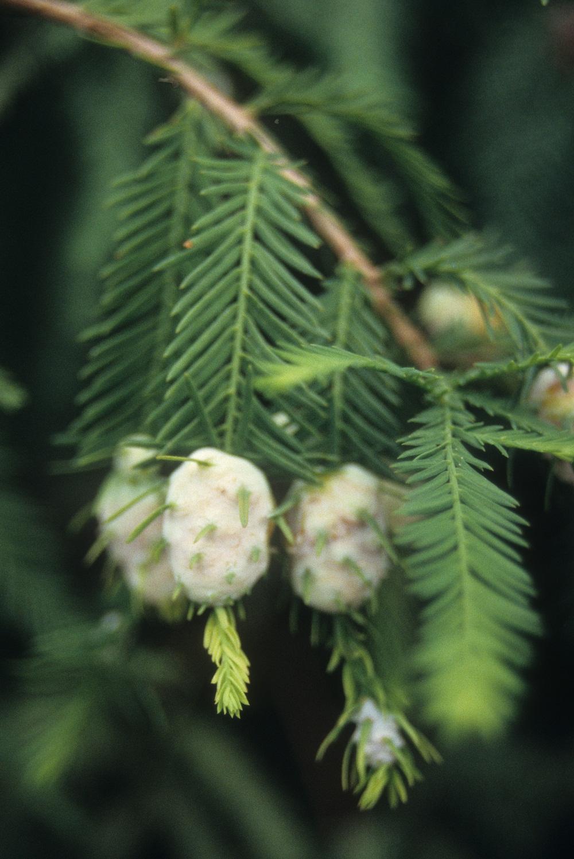 bald cypress galls