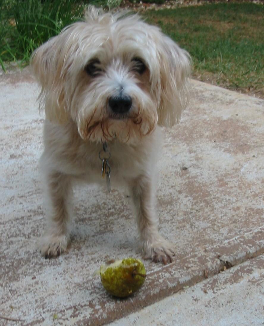 dog eating pear