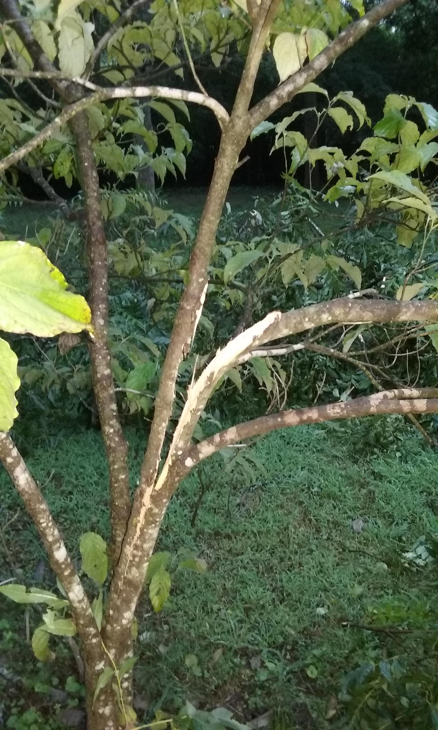 dogwood split limb