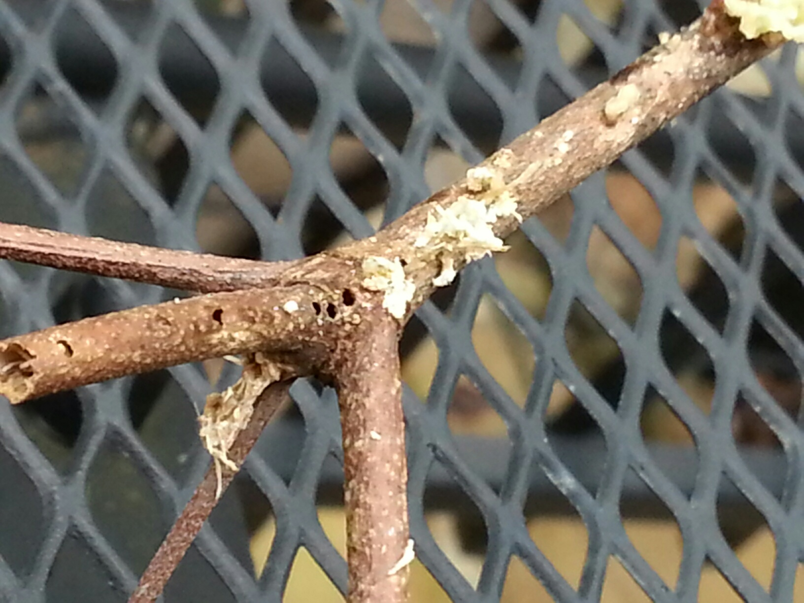 dogwood twig borer 8 querich03 at yahoo