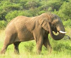 elephant 8 250