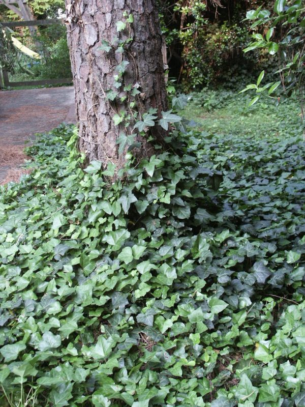 Groundcover in shade