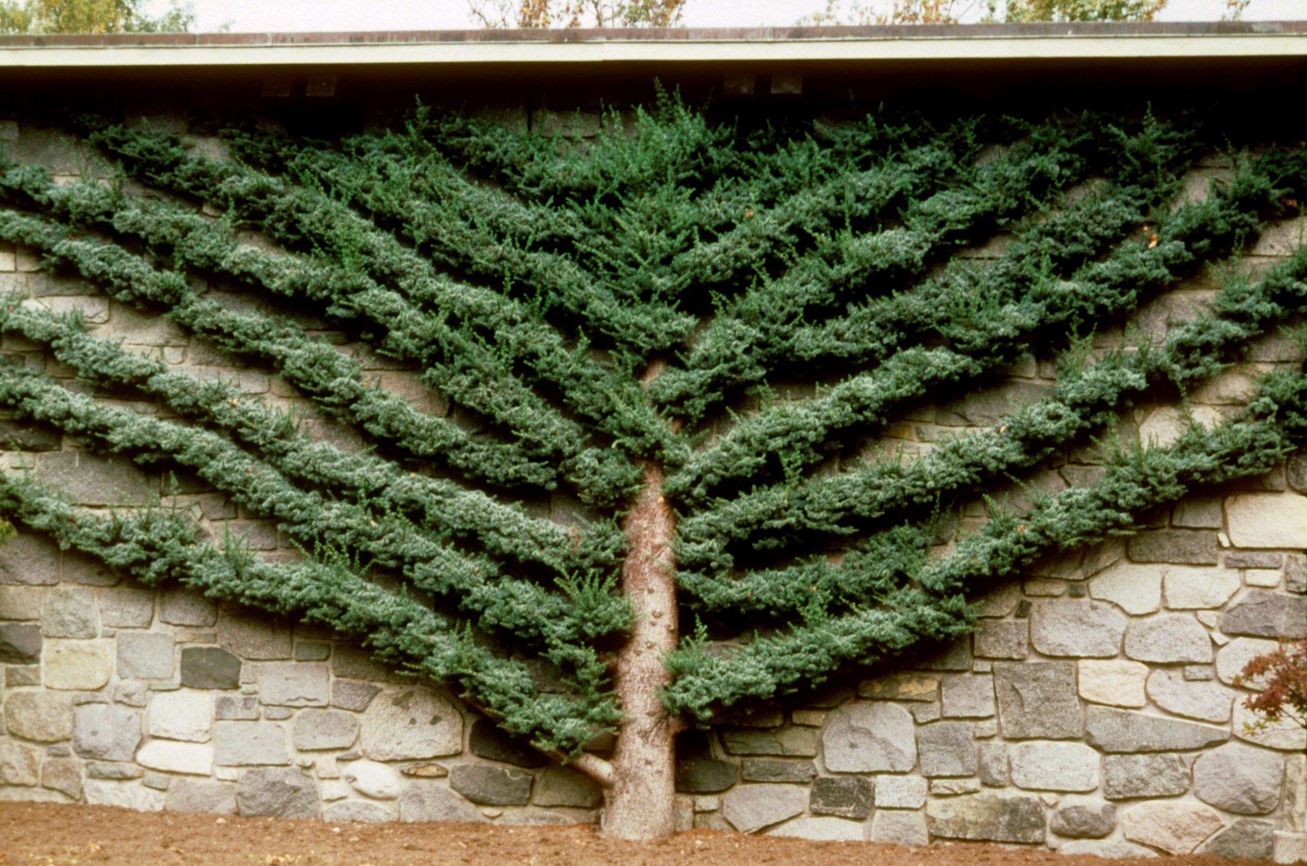 espalier juniper