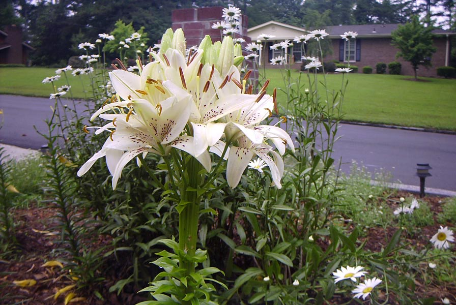 fasciated lily